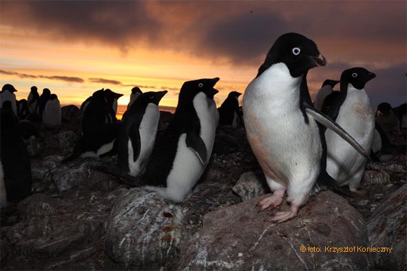 Trochę surrealistycznie jak na tak realistyczne pozy – w kolonii pingwinów białookich. (Zdj. K. Konieczny)