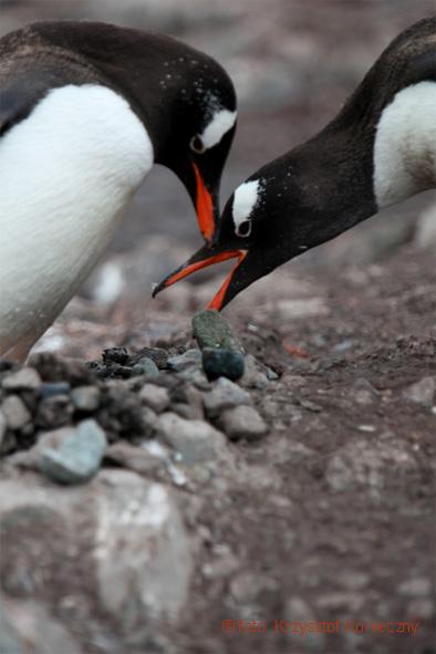 Pingwiny białobrewe i ich magiczne kamienie.