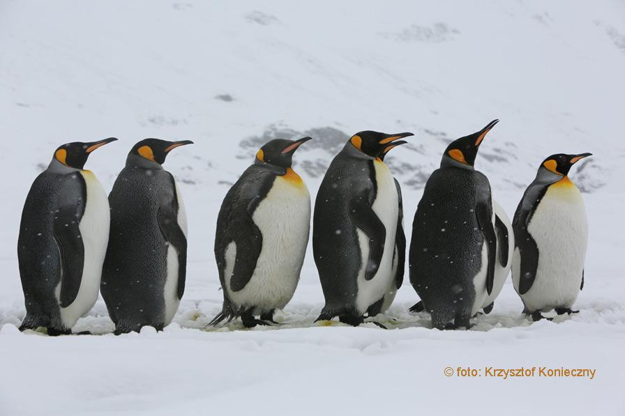 Odpoczywające pingwiny królewskie nasłuchują swoich młodych.