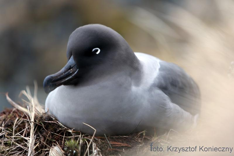 albatros konieczny