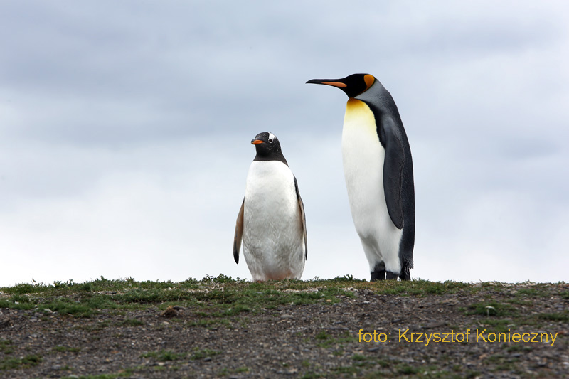 pingwiny konieczny pn
