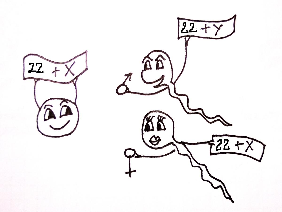 Ryc. 4. Determinacja płci chromosomalnej następuje w momencie zapłodnienia. Gamety mają w jądrze komórkowym 22 autosomy i jeden chromosom płciowy. W prawidłowej komórce jajowej obecny jest chromosom X, natomiast plemniki mogą zawierać albo X albo Y. Zatem to plemnik niesie informację decydującą o płci chromosomalnej