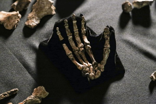 Kości ręki homo naledi. Zdj. John Hawks/University of Wisconsin-Madison