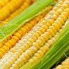 Marcel KUNTZ: Les dix mensonges sur les OGM
