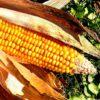 Marcel KUNTZ: Dziesięć kłamstw na temat GMO